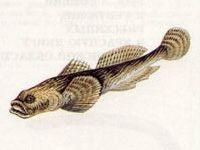 Подкаменщик Обыкновенный (Cottus gobio Linnaeus, 1758)
