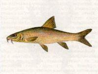 Усач Днепровский (МИРОН) (Barbus borysthenicus Dybowski)