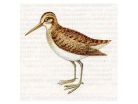 Гаршнеп (Lymnocryptes minima Brunn, 1766)