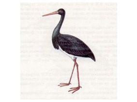 Аист Черный (Ciconia nigra Linnaeus, 1758)