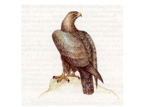 Беркут (Aguila chrysaetus (Linnaeus, 1758))