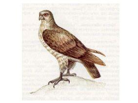 Змееяд (Circaetus gallicus (Gmelin, 1788))