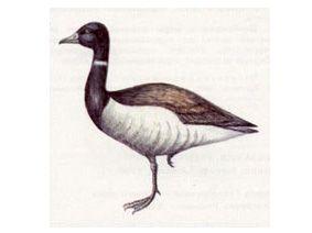 Казарка Черная (Branta bernicla Linnaeus, 1758)