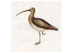 Кроншнеп Большой (Numenius arguata Linnaeus, 1758)