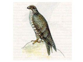 Кречет (Falco rusticolus Linnaeus, 1758)