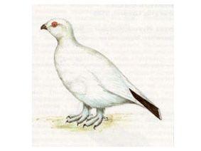 Куропатка Белая (Lagopus lagopus (Linnaeus, 1758))
