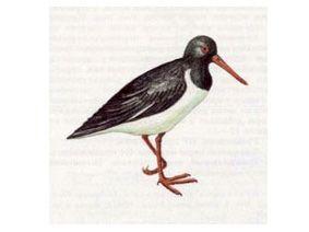 Кулик-Сорока (Haematopus ostralegus Linnaeus, 1758)