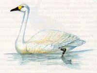 Лебедь Малый (Cygnus bewickii Varrell, 1830)