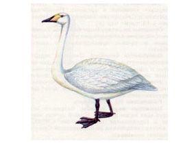 Лебедь-Кликун (Cygnus cygnus Linnaeus, 1758)