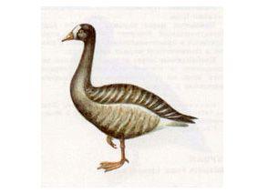 Пискулька (Anser erythropus Linnaeus, 1758)