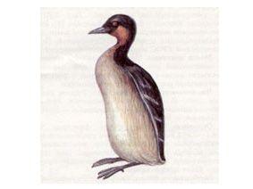 Поганка Малая (Podiceps ruficollis Pallas, 1764)