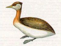 Поганка Серощекая (Podiceps griseigena Boddaert, 1783)