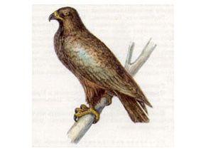 Подорлик Большой (Aguila clanga Pallas, 1811)