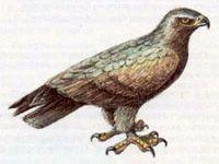 Подорлик Малый (Aguila pomarina Brehm, 1831)