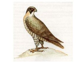 Сапсан (Falco peregrinus Tunstall, 1771)