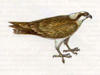Скопа (Pandion haliaetus Linnaeus, 1758)