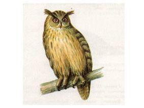 Филин (Bubo bubo Linnaeus, 1758)