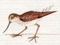 Улит Большой (Tringa nebularia Gunnerus, 1767)