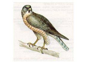 Тювик Европейский (Accipiter brevipes (Severtzov, 1850))