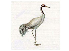 Журавль Серый (Grus grus Linnaeus, 1758)