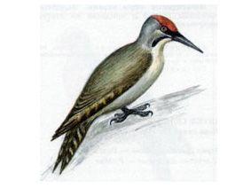 Дятел Седой (Picus canus Gmelin, 1788)
