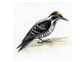 Дятел Трехпалый (Picoides tridactylus Linnaeus, 1758)