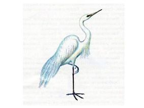 Цапля Белая Большая (Egretta alba Linnaeus, 1758)