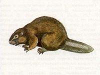 Бобр (Castor fiber Linnaeus, 1758)