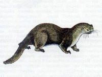 Выдра (Lutra lutra Linnaeus, 1758)