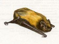 Вечерница Гигантская (Nyctalus lasiopterus Schreber, 1780)