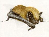 Вечерница Рыжая (Nyctalus noctula Schreber, 1774)