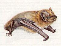 Вечерница Малая (Nyctalus leisleri Kuhl, 1818)