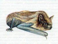Кожан Поздний (Vespertilio serotinus Schreber, 1774)