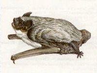 Кожан Двухцветный (Vespertilio murinus Linnaeus, 1758)