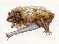 Кожанок Северный (Vespertilio nilsooni (Keyserling et Blasius, 1839))