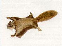 Летяга Обыкновенная (Pteromys volans Linnaeus, 1758)