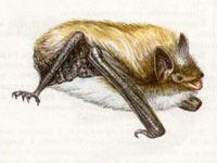Ночница Водяная (Myotis daubentoni Kuhl, 1819)