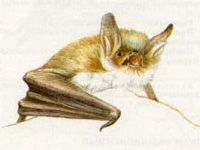 Ночница Наттерера (Myotis nattereri Kuhl, 1818)