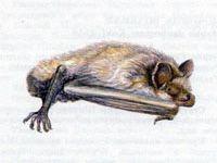 Ночница Прудовая (Myotis dasycneme Boie, 1825)