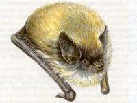 Ночница Усатая (Myotis mystacinus Kuhl, 1819)
