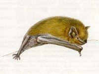 Нетопырь-Карлик (Vespertilio pipistrellus Schreber, 1774)