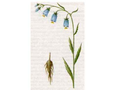 Бубенчик Лилиелистный (Adenophora lilifolia (L.) A.DC.)
