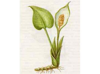 Белокрыльник Болотный (Calla palustris L.)