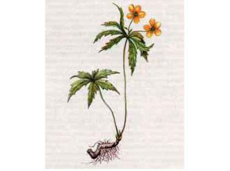 Ветреница Лютиковая (Anemone ranunculoides L.)