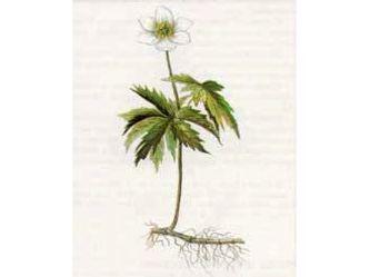 Ветреница Дубравная (Anemone nemorosa L.)