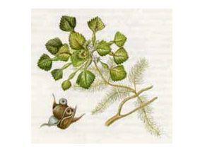Рагульник Плавающий, или Орех Водяной, Чилим (Trapa natans L.)