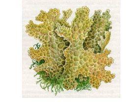 Лобария Легочная (Lobaria pulmonaria (L.) Hoffm.)