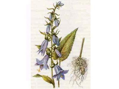 Колокольчик Крапиволистный (Campanula trachelium L.)