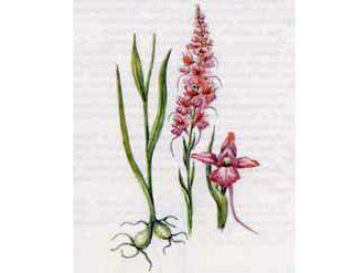Кокушник Длиннорогий (Gymnadenia conopsea (L.) R. Br.)