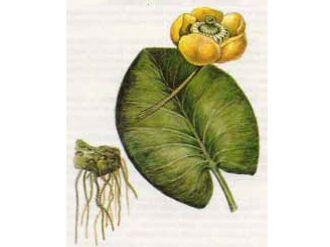 Кубышка Желтая (Nuphar lutea (L.) Smith.)